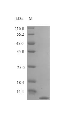SDS-PAGE - Recombinant rat TARC/CCL17 protein (Active) (ab243778)