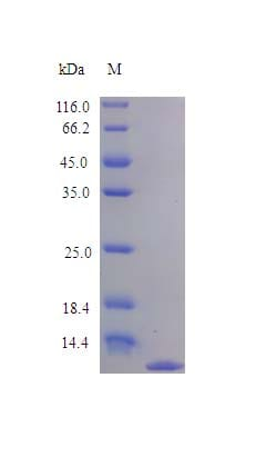 SDS-PAGE - Recombinant rat MDC protein (Active) (ab243781)