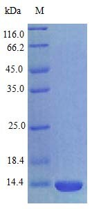 SDS-PAGE - Recombinant rat CXCL17/DMC protein (Active) (ab243786)