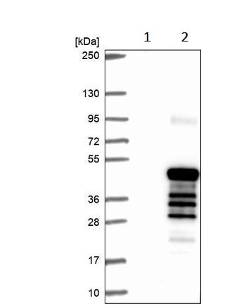 Western blot - Anti-Connexin 40.1 antibody (ab243802)