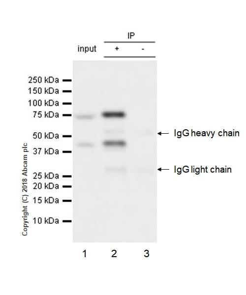 Immunoprecipitation - Anti-PKC theta/PRKCQ antibody [EPR22277] - BSA and Azide free (ab243851)
