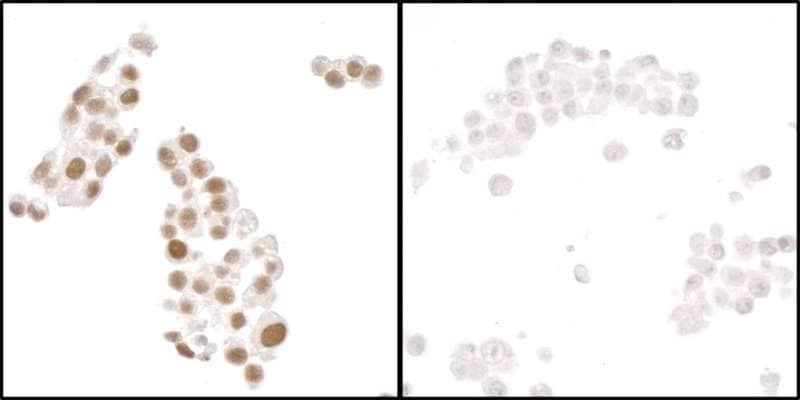 Immunocytochemistry - Anti-HIF-1 alpha antibody [BL-124-3F7] (ab243860)