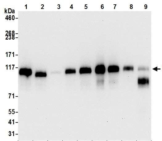 Western blot - Anti-PTPN12 antibody [BL-5-2F8] (ab243864)