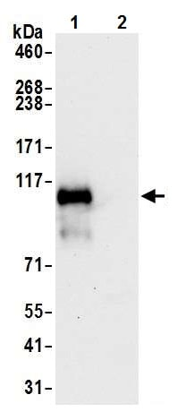Immunoprecipitation - Anti-PTPN12 antibody [BL-5-2F8] (ab243864)