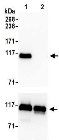 Western blot - Anti-KAP1 (phospho S824) antibody [BL-246-7B5] (ab243870)