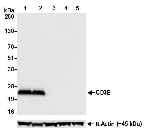 Western blot - Anti-CD3 antibody [BL-298-5D12] (ab243873)