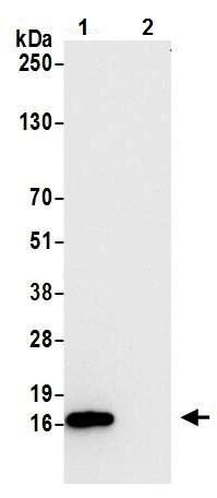 Immunoprecipitation - Anti-CD3 zeta antibody [BL-336-1B2] (ab243874)