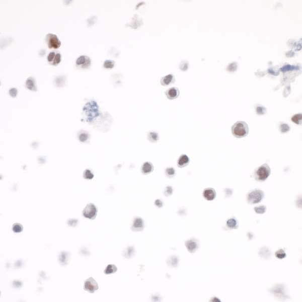 Immunocytochemistry - Anti-c-Maf antibody [BLR045F] (ab243901)