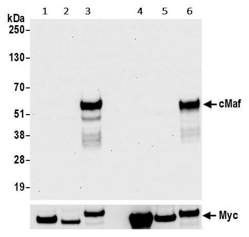 Western blot - Anti-c-Maf antibody [BLR045F] (ab243901)