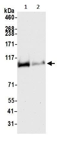 Western blot - Anti-Rad21 antibody [BLR052F] (ab243905)