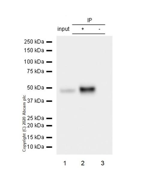 Immunoprecipitation - Anti-Cytokeratin 14 antibody [EP1612Y] - BSA and Azide free (ab243907)