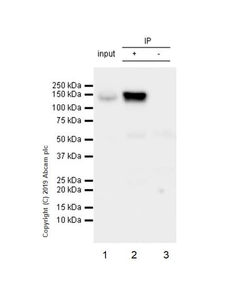 Immunoprecipitation - Anti-RENT1/hUPF1 antibody [EPR4681] - BSA and Azide free (ab243911)
