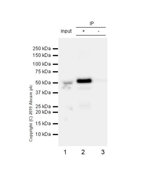 Immunoprecipitation - Anti-nSMase antibody [EPR6718] - BSA and Azide free (ab243913)