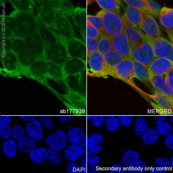 Immunocytochemistry/ Immunofluorescence - Anti-eIF1A antibody [EPR12466(B)] - BSA and Azide free (ab243919)