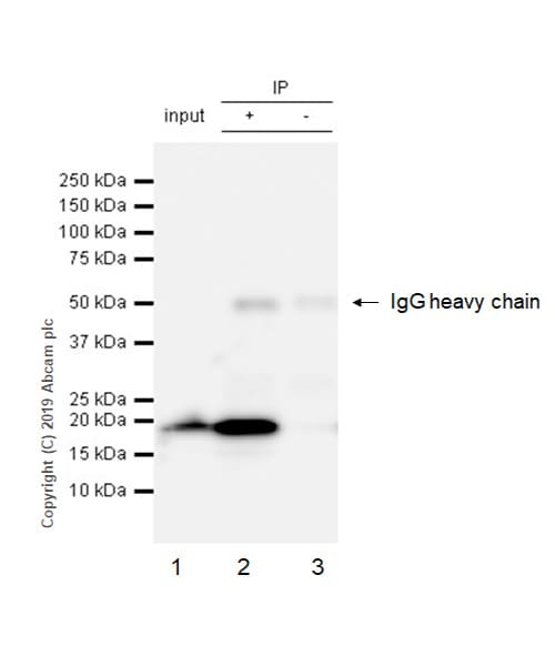 Immunoprecipitation - Anti-eIF1A antibody [EPR12466(B)] - BSA and Azide free (ab243919)
