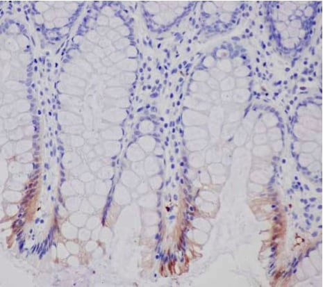 Immunohistochemistry (Formalin/PFA-fixed paraffin-embedded sections) - Anti-15-PGDH antibody [EPR14332] - BSA and Azide free (ab243942)