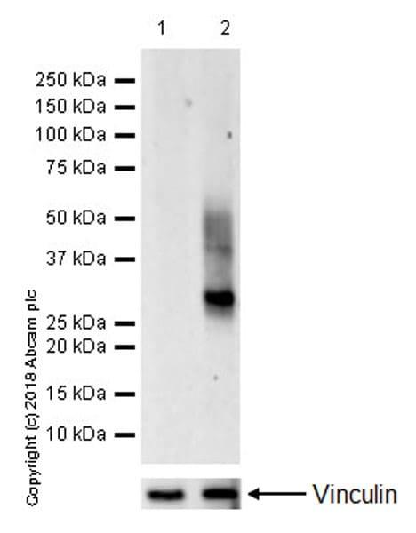 Western blot - Anti-CD83 antibody [EPR22405] (ab244204)