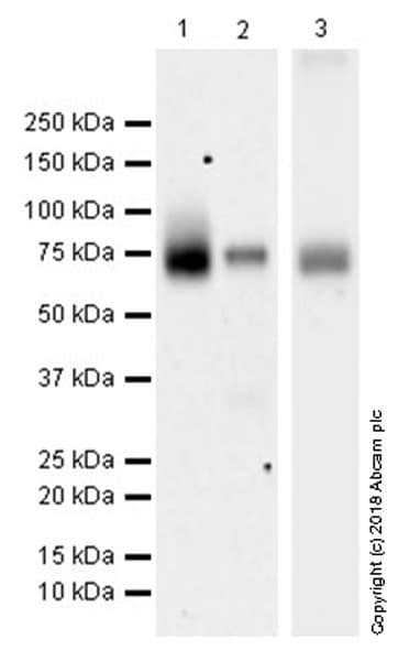 Western blot - Anti-15 Lipoxygenase 1 antibody [EPR22138] (ab244205)