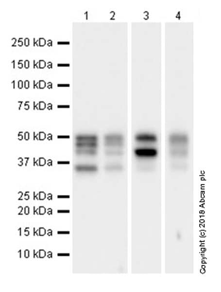 Western blot - Anti-PTP1B antibody [EPR22474] (ab244207)