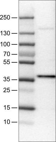 Western blot - Anti-USP46 antibody [CL0364] (ab244215)