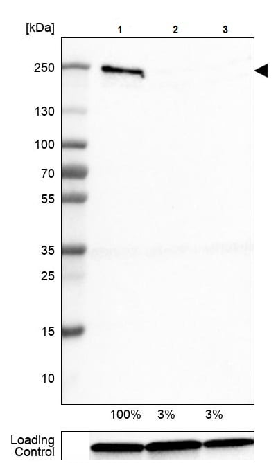 Western blot - Anti-Brd4 antibody [CL1115] (ab244221)