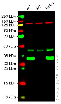 Western blot - Anti-Lactate Dehydrogenase antibody [EP1565Y] - BSA and Azide free (ab244228)