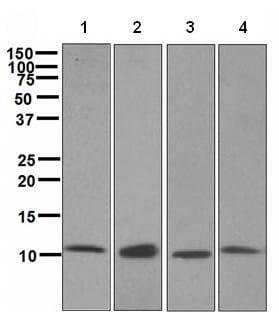Western blot - Anti-EPF antibody [EPR4475] - BSA and Azide free (ab244230)