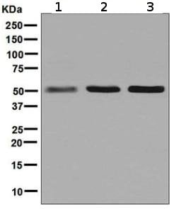 Western blot - Anti-Glutathione Reductase antibody [EPR7237] - BSA and Azide free (ab244234)