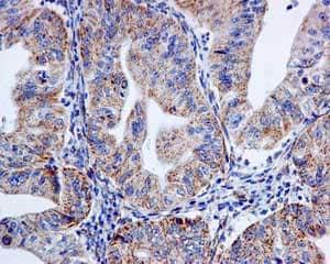 Immunohistochemistry (Formalin/PFA-fixed paraffin-embedded sections) - Anti-mtTFA antibody [EPR12286] - BSA and Azide free (ab244237)