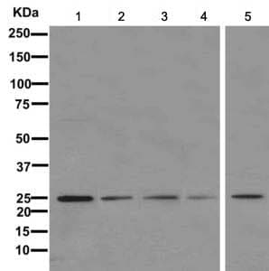 Western blot - Anti-mtTFA antibody [EPR12286] - BSA and Azide free (ab244237)