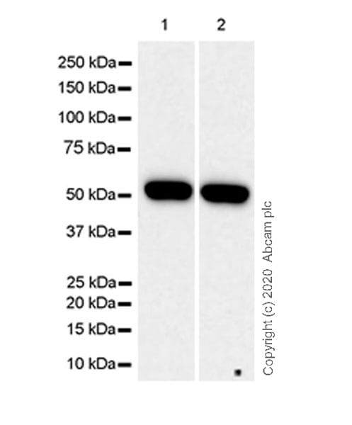 Western blot - Anti-CYP46 antibody [1A7] (ab244241)