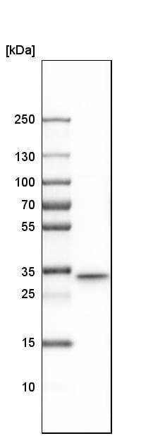 Western blot - Anti-TXNDC/TMX antibody (ab244263)