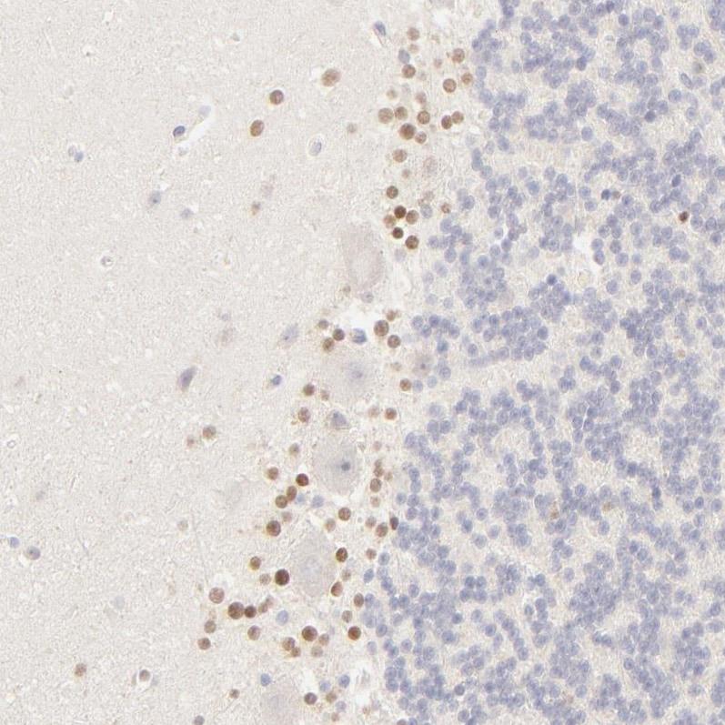 Immunohistochemistry (Formalin/PFA-fixed paraffin-embedded sections) - Anti-Nkx2.2 antibody (ab244270)