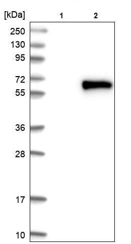 Western blot - Anti-Ajuba antibody (ab244285)