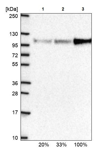 Western blot - Anti-UBF1 antibody (ab244287)