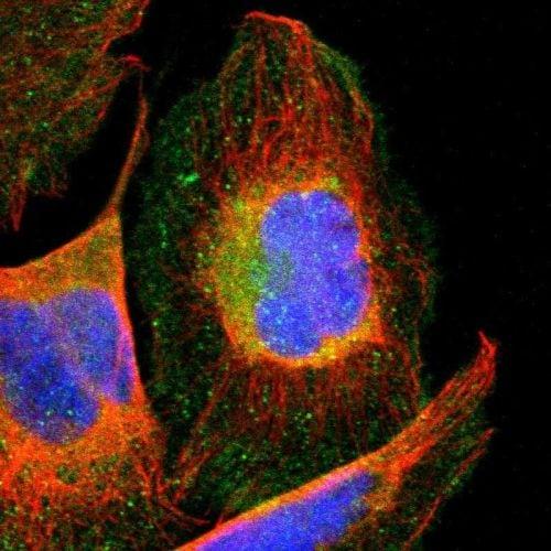 Immunocytochemistry/ Immunofluorescence - Anti-CCT3 antibody (ab244288)