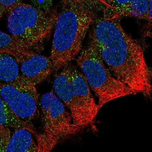 Immunocytochemistry/ Immunofluorescence - Anti-PTPRN2 antibody (ab244293)