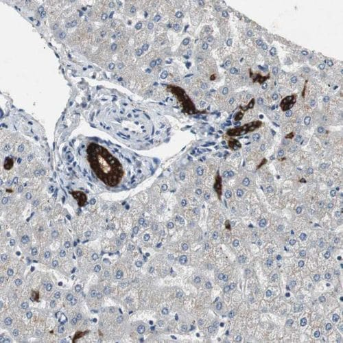 Immunohistochemistry (Formalin/PFA-fixed paraffin-embedded sections) - Anti-PTPRN2 antibody (ab244293)