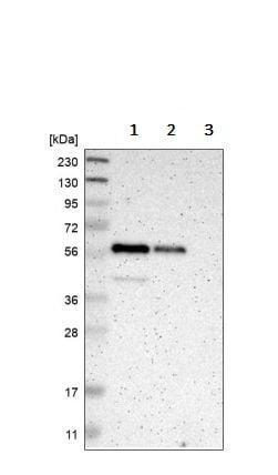 Western blot - Anti-TRAF2 antibody (ab244314)
