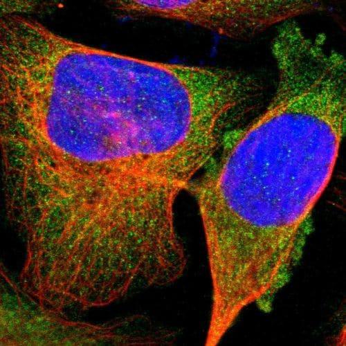Immunocytochemistry/ Immunofluorescence - Anti-TRAF2 antibody (ab244317)