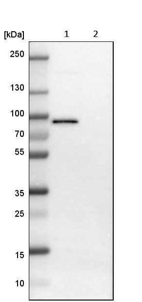 Western blot - Anti-TRAF2 antibody (ab244317)