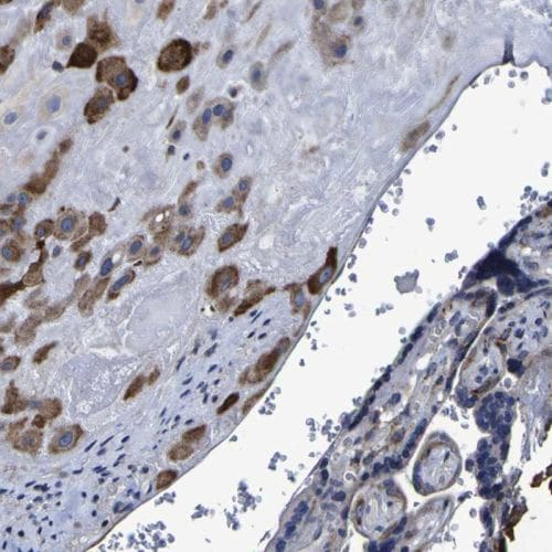 Immunohistochemistry (Formalin/PFA-fixed paraffin-embedded sections) - Anti-LEPRE1/P3H1 antibody (ab244326)