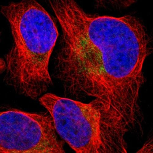 Immunocytochemistry/ Immunofluorescence - Anti-PD-L2 antibody (ab244332)