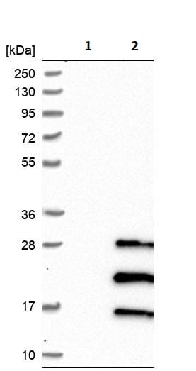 Western blot - Anti-NRSN2 antibody (ab244348)
