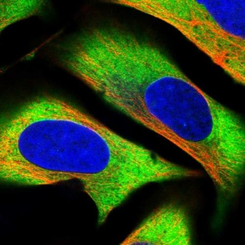 Immunocytochemistry/ Immunofluorescence - Anti-Caprin-1 antibody (ab244360)