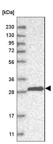 Western blot - Anti-Density Regulated Protein antibody (ab244388)