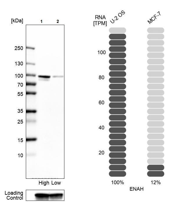 Western blot - Anti-ENAH/MENA antibody (ab244417)