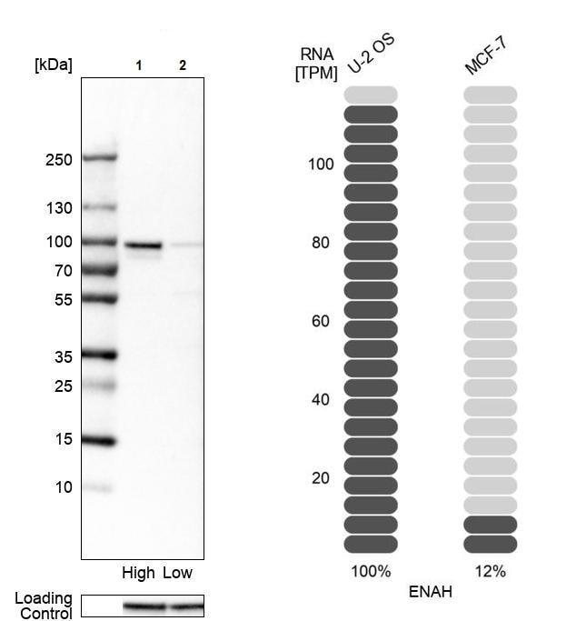 Western blot - Anti-ENAH/MENA antibody (ab244423)