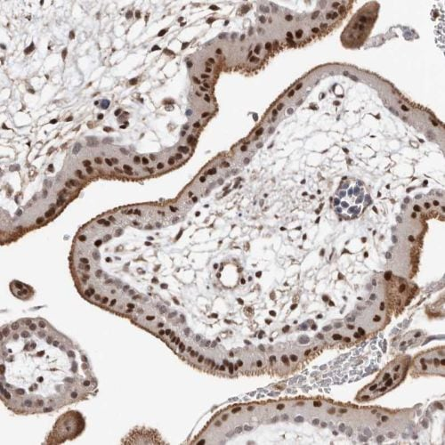 Immunohistochemistry (Formalin/PFA-fixed paraffin-embedded sections) - Anti-MADH7/SMAD7 antibody (ab244424)