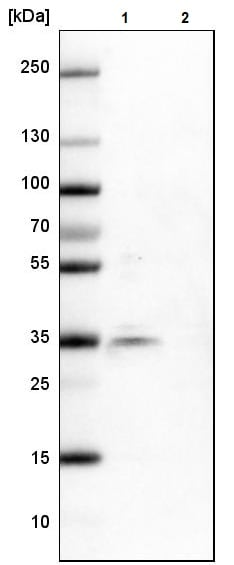 Western blot - Anti-SR protein repeat/SRSF6 antibody (ab244425)